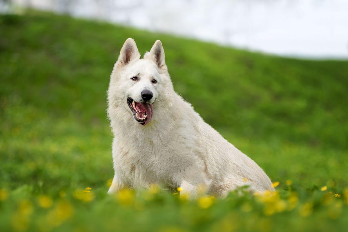 Aboiement du berger blanc suisse
