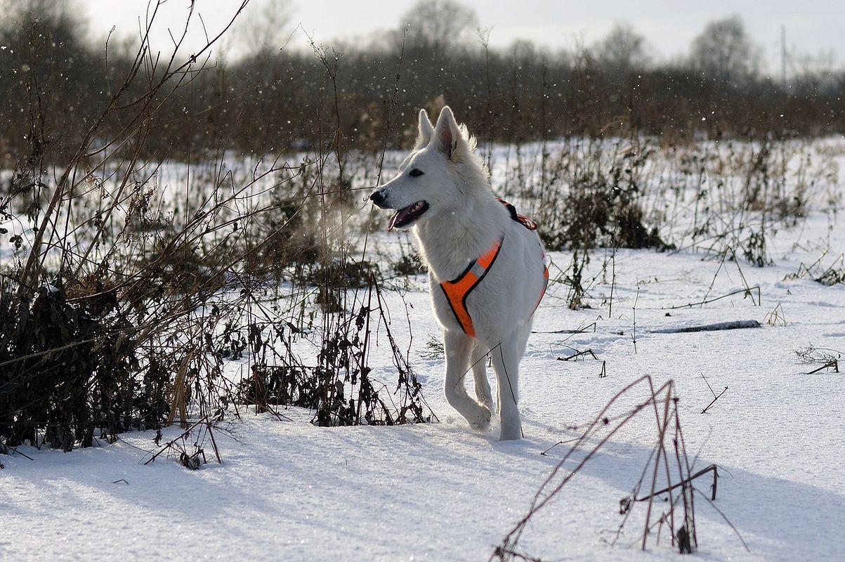 Berger blanc suisse dans la neige